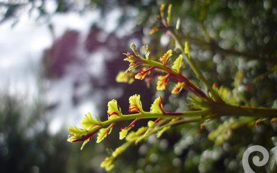First Light® flower essence No 81 Tanekaha