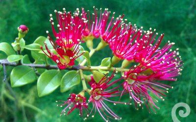 First Light® flower essence No 67 Red Rata